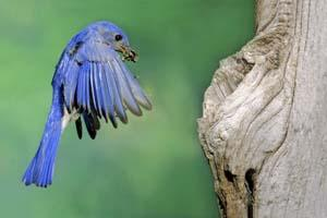 Easten Bluebird at Nesting Hollow
